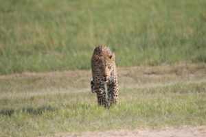 Leopard On Runway - 1