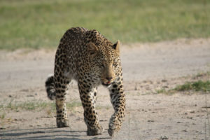 Leopard On Runway - 2