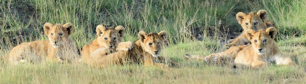 A Family of Lion Cubs in the Serengeti