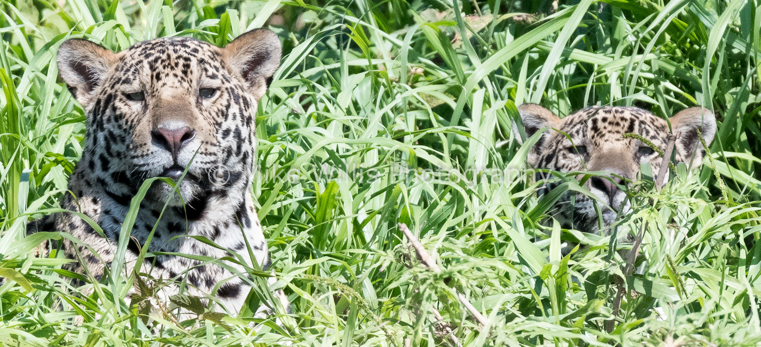 Brother and Sister Jaguars in the Pantanal