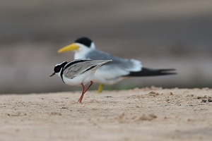 Pied Plover - Vanellus Cayanus; Pied Lapwing|Yellow-Billed Tern