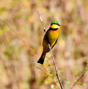 cinnamon-chested bee-eater - merops oreobates