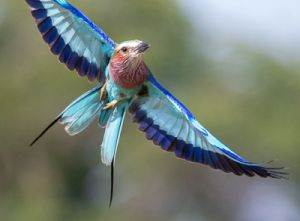 lilac-breasted roller -