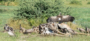 White-backed vulture - Gyps africanus; Giraffe killed by lions