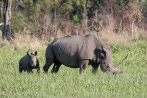 White rhinoceros - Ceratotherium simum; (with calf)