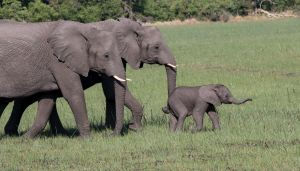 African elephant - Loxodonta africana; (with calf)