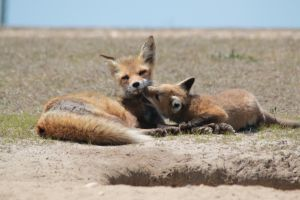 Red fox - Vulpes vulpes; with cub