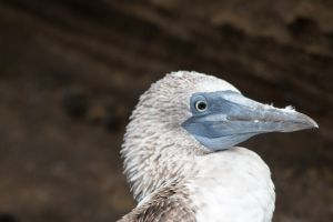 Blue-footed booby - Sula nebouxii