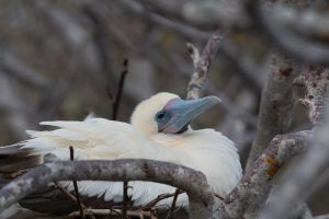 Red-footed booby (white morph) - Sula sula